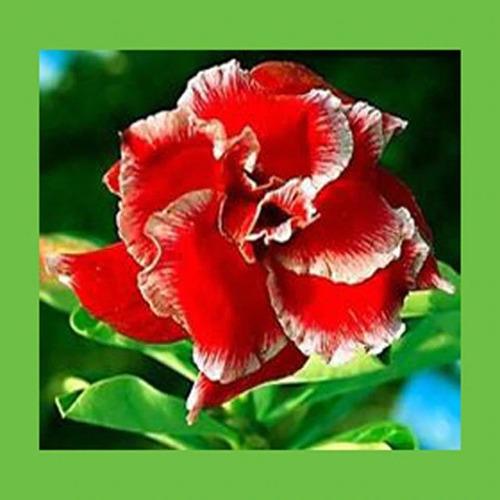 5 mudas de rosa do deserto dobrads e triplas