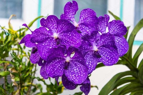 5 mudas jovem lindas orquídea vanda na promoção frete grati