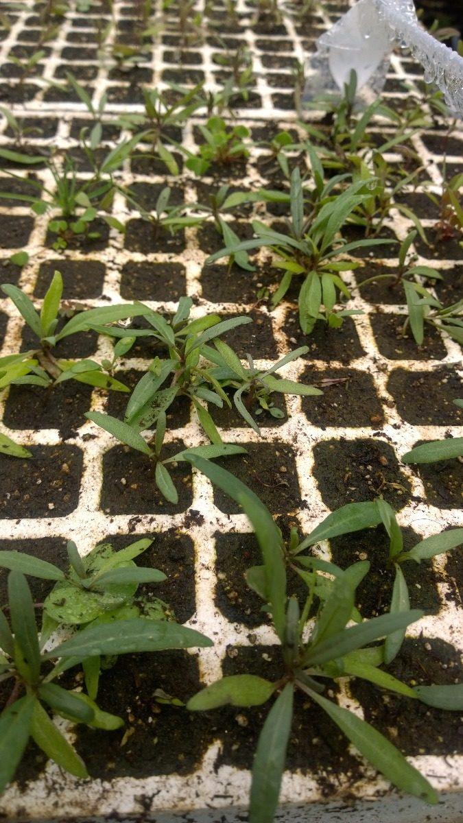 5 plantitas de goji de vivero bajo cultivo org nico for Vivero organico