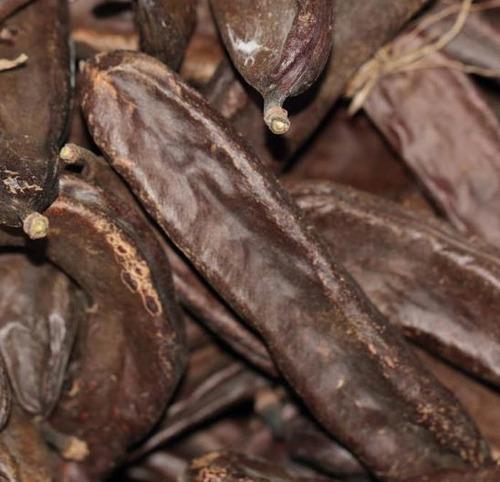 5 sementes alfarrobeira ceratonia siliqua algarroba p/mudas