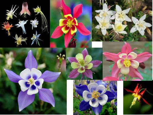 5 sementes de aquilegia - frete grátis - orquídea muda rosa
