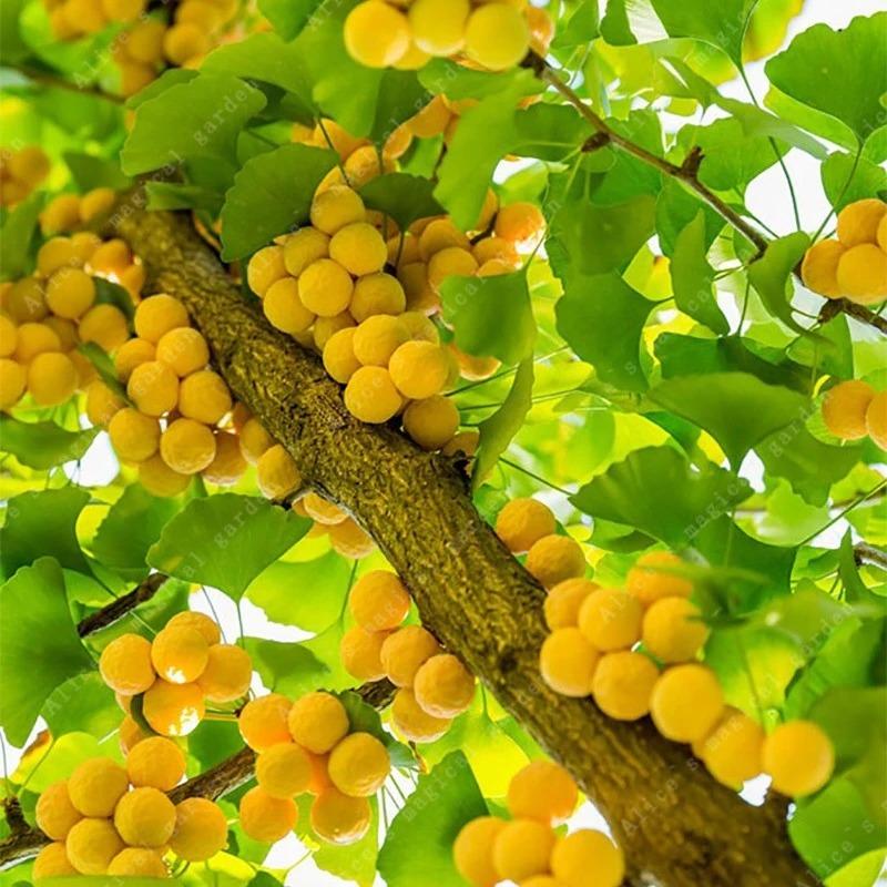 5 Sementes Fruta Raras Biloba Ginkgo P Mudas Bonsai Gramas - R$ 29 ...