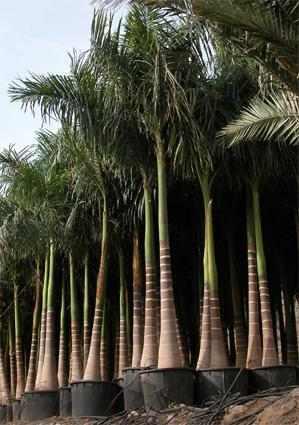 5 semillas de palma real roystonea regia codigo 1325 for Mesa plegable las palmas