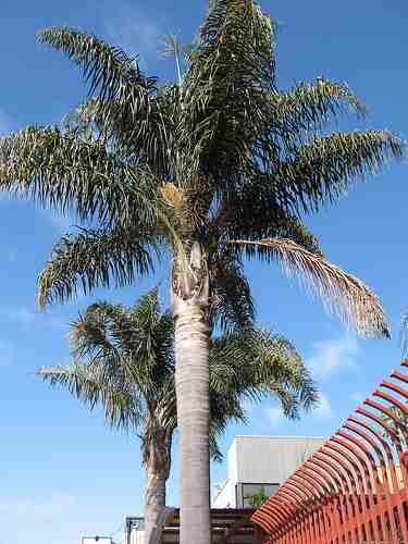5 semillas de syagrus romanzoffiana - palma reyna cod. 1329