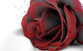 50 sem. rosa preta com bordas vermelhas,lindas e raras+brind