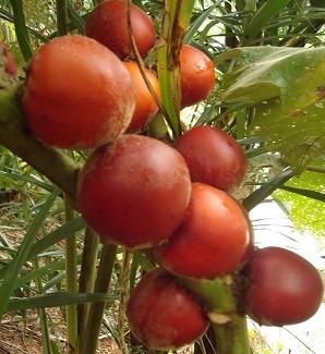 50 sementes - cubiú maná da amazônia - solanum sessiliflorum
