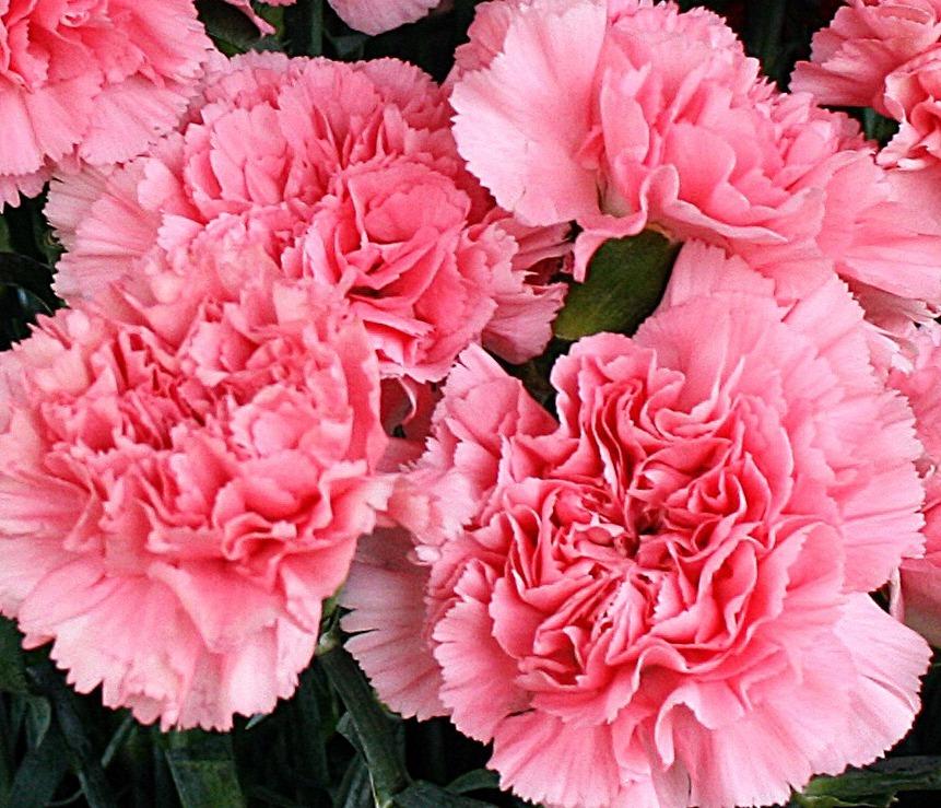 50-sementes-da-linda-flor-cravo-rosa-vas