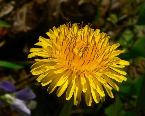50 sementes de dente de leão dandelion taraxacum flor erva