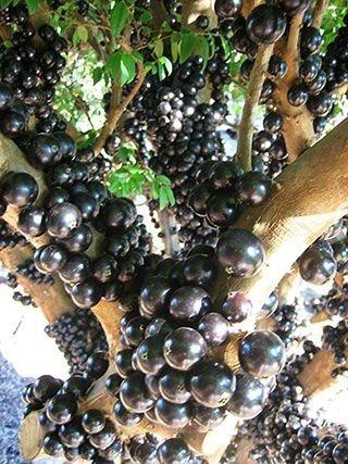 50 sementes de jabuticaba olho de boi
