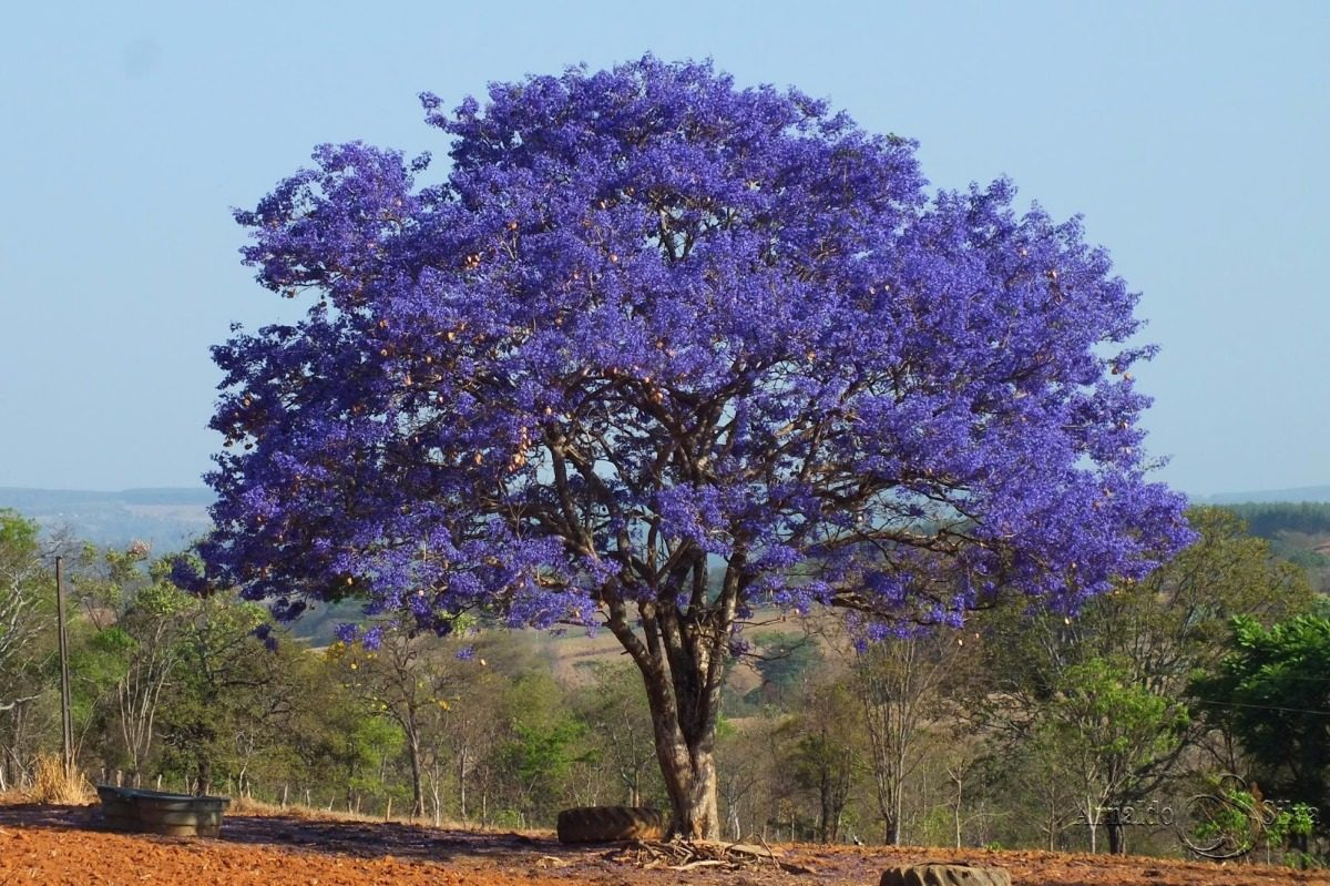 Resultado de imagem para árvore de jacarandá