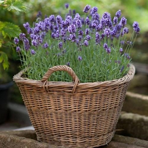 50 sementes de lavanda verdadeira p mudas vasos e jardim - Planta lavanda cuidados ...