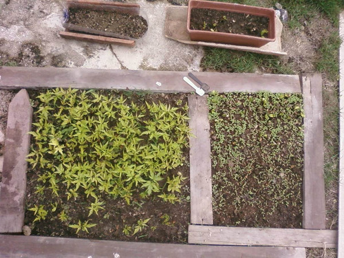 50 sementes de neem indiano + tutorial da embrapa +frete r$7