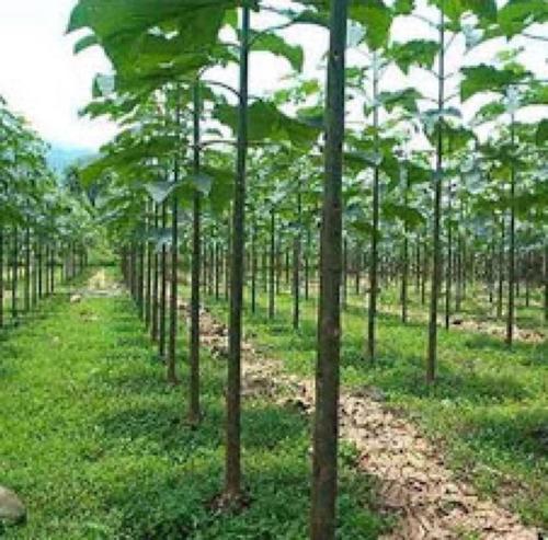 50 sementes de paulownia elongata - kiri japonês