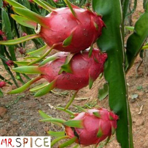 50 sementes de pitaya polpa vermelha mudas p/ vaso ou pomar
