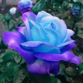 50 Sementes De Rosa Cor Azul Tipo Fluorescente Rara E Linda