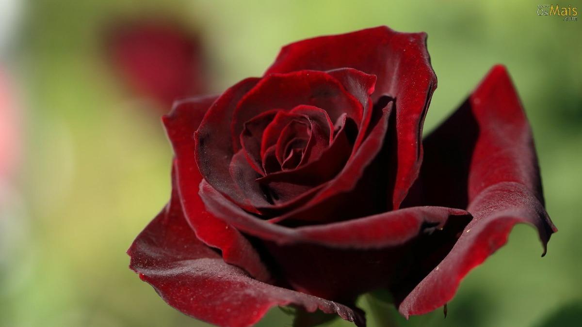 O Poder das Flores - O Povo Flor - SABERES ANCESTRAIS do ...  |Rosa Flor Vermelha
