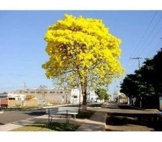 50 sementes de ype  amarelo