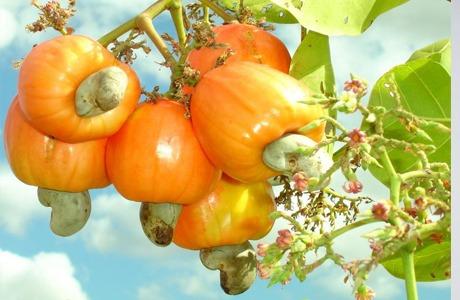 50 sementes do caju anão precoce cajueiro de 06 meses!!