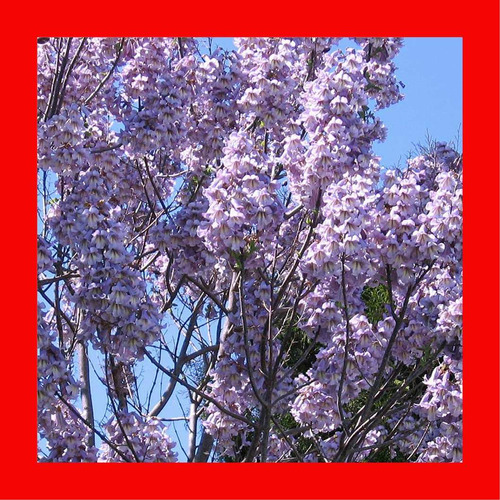 50 sementes kiri japonês paulownia + frete registrado grátis