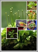50 sementes  planta carnívora, planta rara +brinde@
