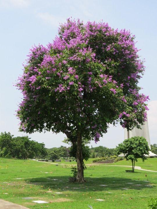 Ginkgo Biloba G131 Maidenhair Tree Seeds Semillas 5 graines d/' ARBRE AUX 40 ECUS