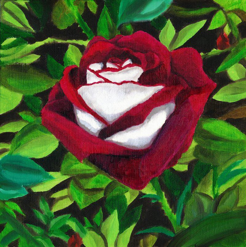 50 sementes rosa osiria aveludada bicolor raras r 19 90 em mercado livre. Black Bedroom Furniture Sets. Home Design Ideas