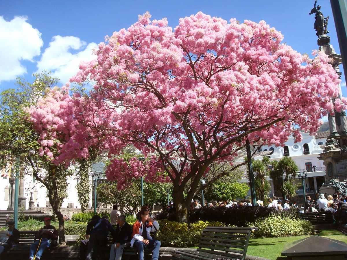 50 semillas de rbol de flor de primavera hermoso 214 - Arbol de rosas ...