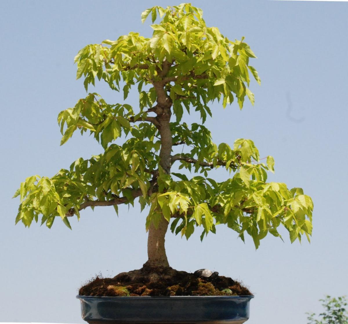 50 Semillas De Arce Americano Acer Negundo P árbol O Bonsai 199