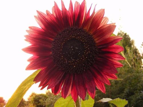 50 semillas de girasol rojo, excelente germinación, oferta