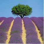 50 semillas de lavanda angustifolia - lavanda  codigo 586