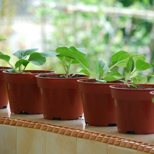 50 semillas pak choy - acelga asiática
