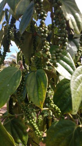 500 gramas de pimenta do reino branca em grãos tempero