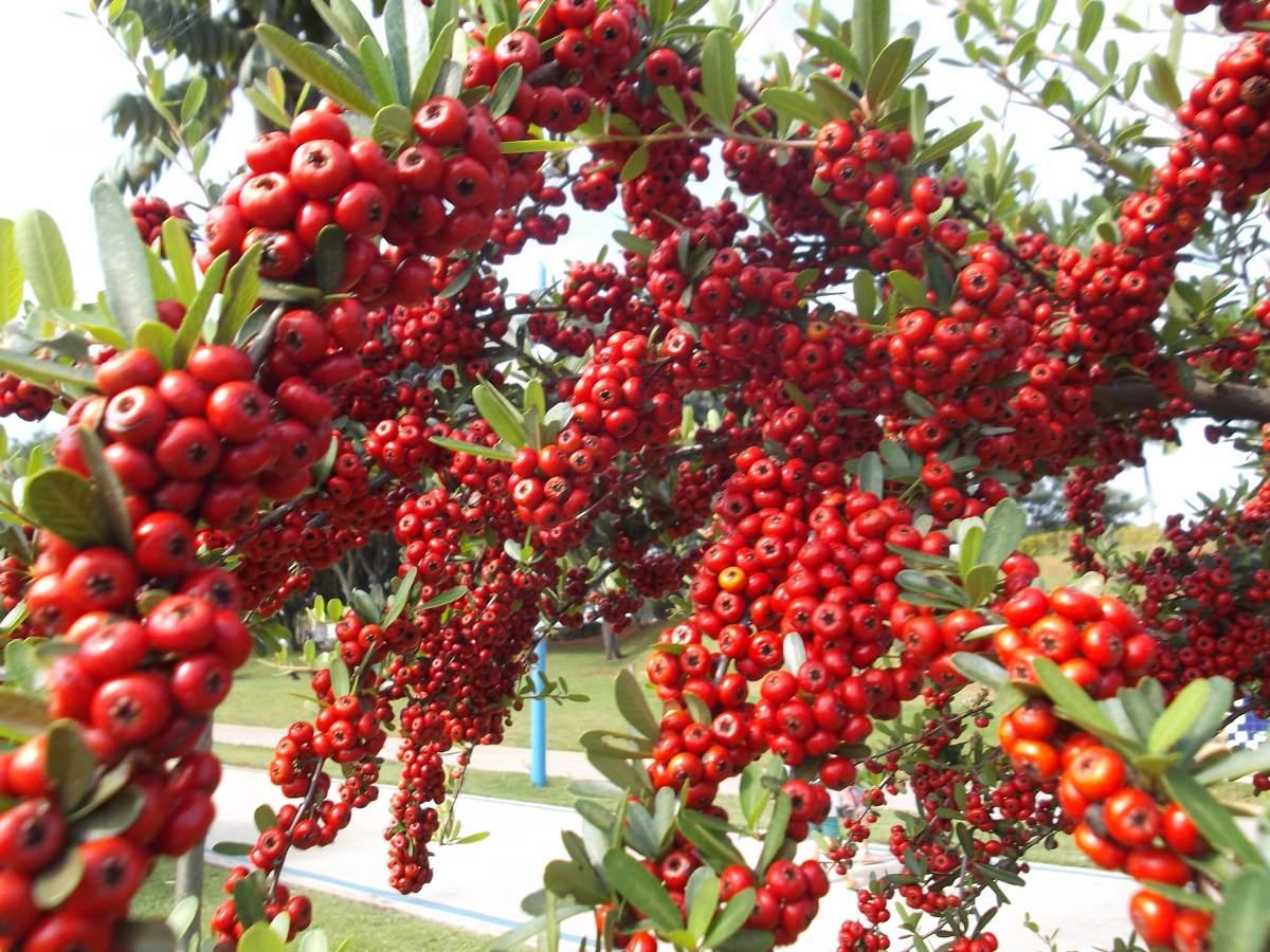 kobold o anao de jardim : kobold o anao de jardim: Pingo Ouro Flamboyant Ipê Anão Jardim – R$ 84,50 em Mercado Livre