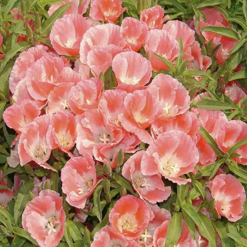 6515504be2 500 sementes da flor mini azaleia cores sortidas para mudas. Carregando  zoom.