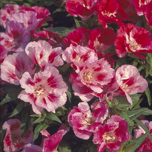 9d0fac01ac 500 Sementes Da Flor Mini Azaleia Sortidas E Multicoloridas - R  8 ...