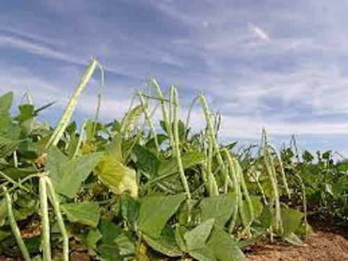 500 sementes p mudas feijão corda chácara casa terreno sítio