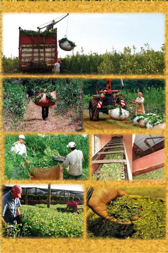 5x yerba mate orgánica la obereña 1/2 kg - 100% natural