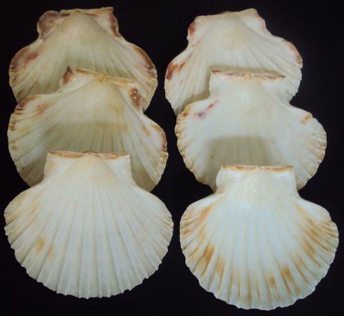 6 conchas grandes para artesanato ou decoração