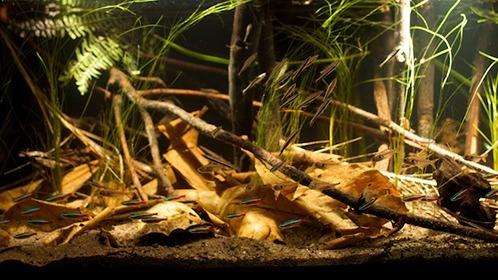 6 hojas medianas de almendro indio  - acuario discus bettas