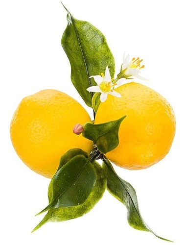 6 mudas de limão siciliano