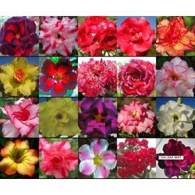 6 Mudas De Rosa Do Deserto - Vários Tipos Disponíveis!