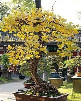 6 sementes ginkgo biloba árvore sagrada para bonsai jardins