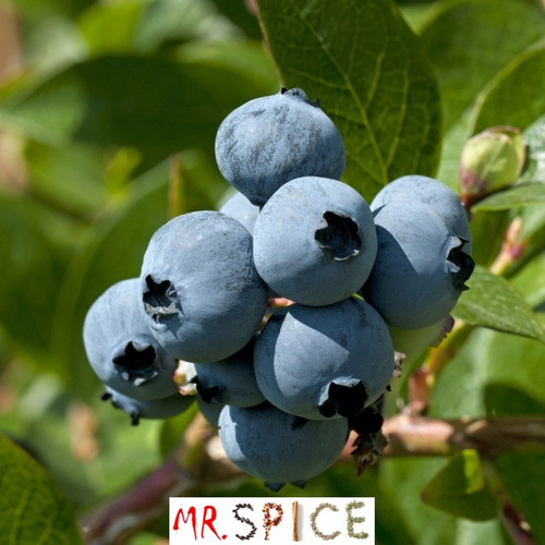 60 sementes blueberry mirtilo anão vaso com frete grátis