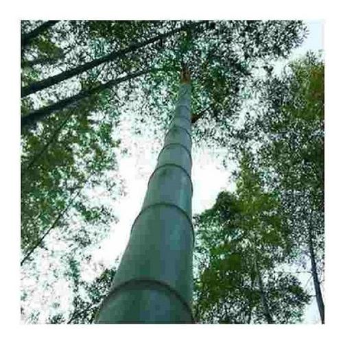 60 sementes de bambu mosso gigante