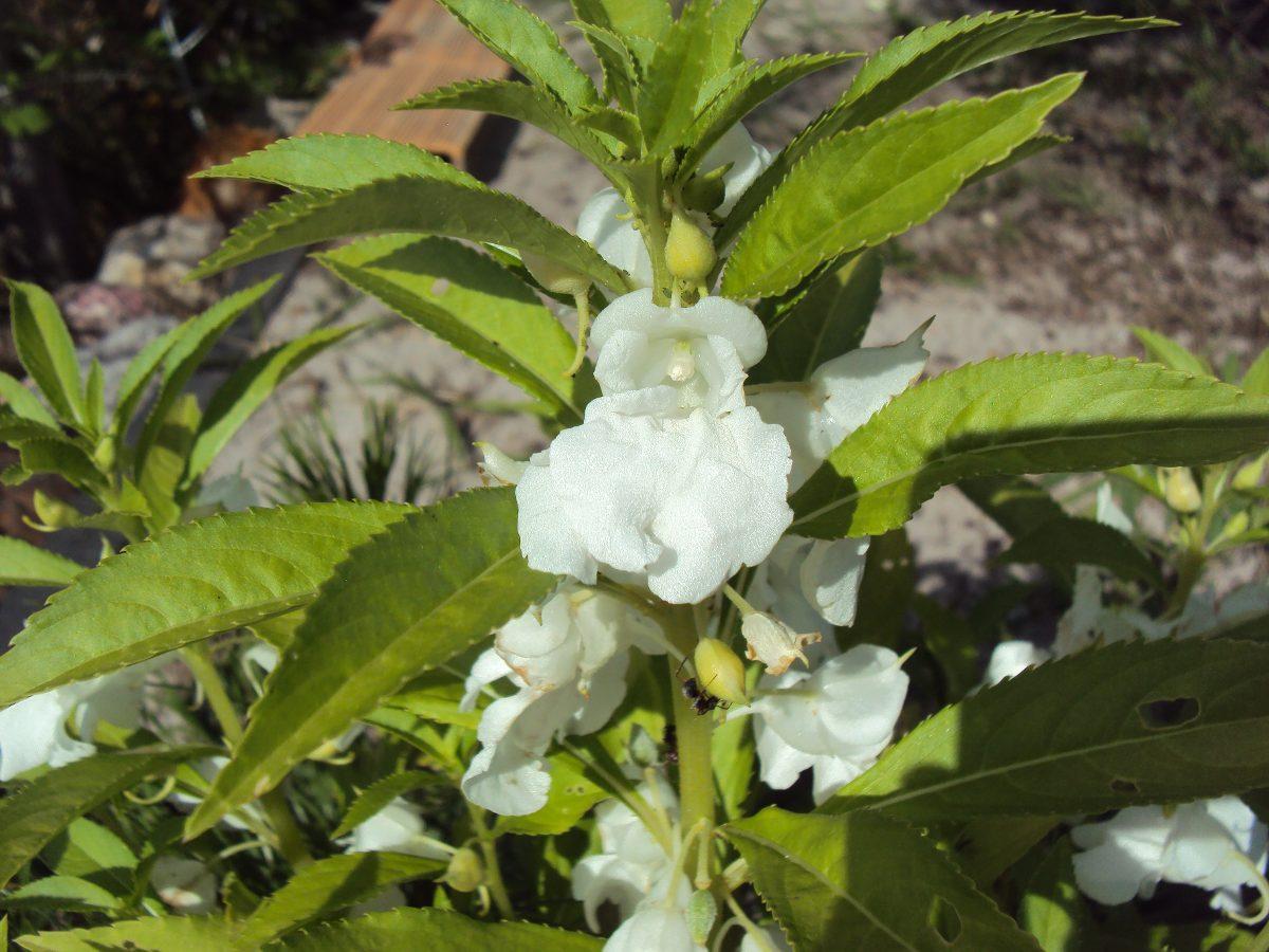 60 Sementes De Beijo De Frade Branco Impatiens Balsamina R 12