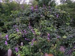 60 sementes de mucunã,olho-de-boi (dioclea grandiflora mart)