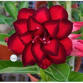 60 Sementes Rosas Do Deserto E Raras P Mudas Frete Gratis
