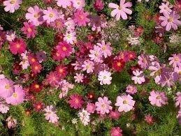65 sementes de cosmos sortidos cosmea sensação # envio já!