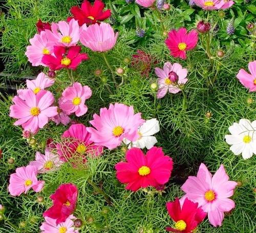 65 sementes flor cosmea sensação sortida # produto original