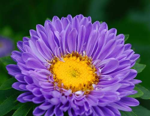 66 semillas de callistephus chinensi - aster codigo 543